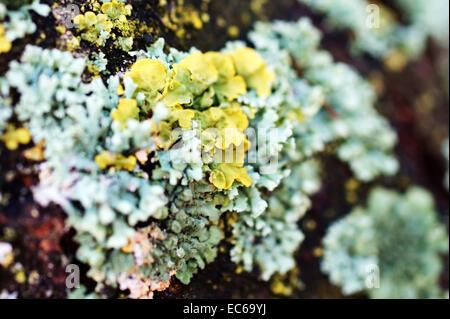Macro di lichene Foto Stock