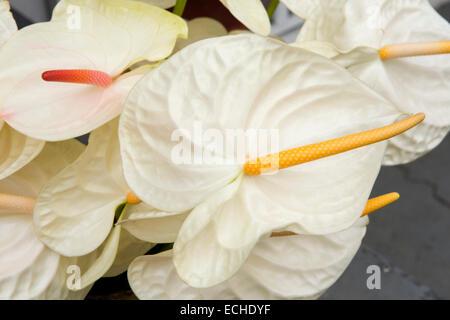 Maurizio, Mahebourg, bianco anthurium fiori visualizzati al di fuori del fioraio Foto Stock
