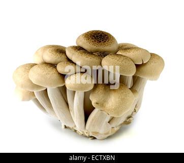 Buna shimeji o marrone di funghi di faggio Foto Stock