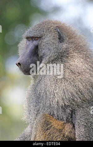 Ritratto di un adulto di un babbuino oliva, papio anubis. La specie è la più ampiamente variabili di tutti i babbuini Foto Stock