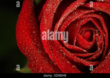 Gocce di rugiada sul red rose Foto Stock