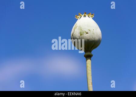 "Papavero seme head [Papaver somniferum], ""close up' contro [blue sky], REGNO UNITO Foto Stock"