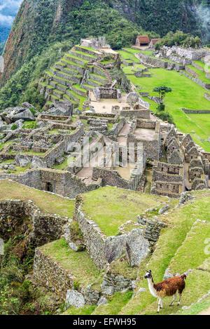 Vista verticale di una lama con le rovine Inca di Machu Picchu in background Foto Stock