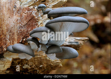 Funghi Oyster / Oyster staffa (fungo Pleurotus ostreatus) crescente sul tronco di albero nella foresta Foto Stock