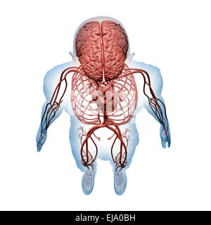 Anatomia umana - Illustrazione del sistema nervoso centrale e i sistemi circolatorio Foto Stock