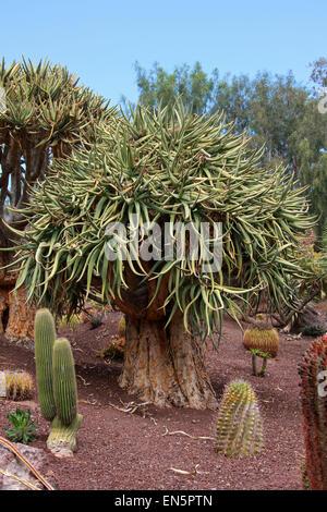 Faretra albero o Kocurboom, Aloe dichotoma, Asphodeloideae, Xanthorrhoeaceae, precedentemente Aloaceae. La Namibia Foto Stock