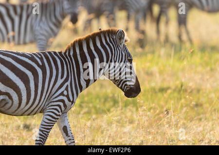 Zebra camminando sulla savana Foto Stock