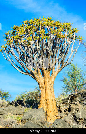 Faretra albero o kocurboom (Aloe dichotoma), Quiver Tree Forest o Kocurboom Woud, Naukluft Mountains, Namibia Foto Stock