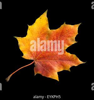 Ahornblatt; Ahornbaum; Herbstblaetter; Foto Stock