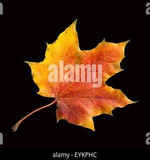 Ahornblatt, Ahornbaum, Herbstblaetter; Foto Stock