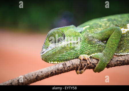 Chameleon guardando verso il basso/all'indietro su un ramo, tenendolo stretto Foto Stock