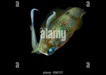 Grande Barriera Corallina di calamari di notte, Sepioteuthis lessoniana, Ari Atoll, Maldive Foto Stock