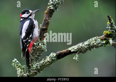 Picchio rosso maggiore / Picchio Rosso (Dendrocopos major) maschio appollaiato sul ramo coperti da licheni sotto Foto Stock