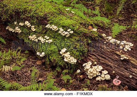 I funghi e il muschio cresce su un registro di marciume accanto al Seaton Trail in Pickering Ontario in Canada. Foto Stock