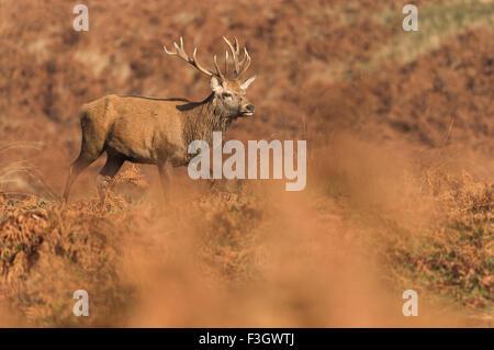 Red Deer cervo (Cervus elaphus) attraversando a piedi il campo autunnale Foto Stock