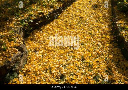 Un sentiero coperto di caduta foglie d'oro da un albero di gingko Foto Stock