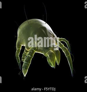 Dal punto di vista medico illustrazione accurata di un acaro della polvere Foto Stock