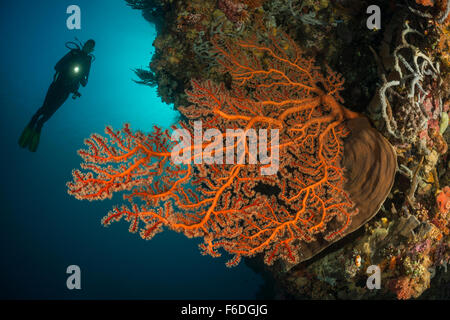 Scuba Diver e Mar Rosso ventola, Solenocaulon sp., Alor, Indonesia Foto Stock