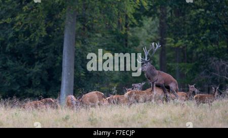 Il cervo (Cervus elaphus), solchi stag, accoppiamento, Zelanda, Danimarca Foto Stock