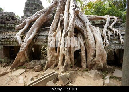 Le radici di un albero gigante overgrowing rovine di Ta Prohm tempio di Angkor, Cambogia, Asia Foto Stock