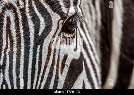 Grévy's zebra / imperial zebra (Equus grevyi) nativi in Kenya e in Etiopia, chiudere fino a strisce di testa Foto Stock