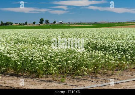 Campo di carota le piante coltivate per la raccolta di semi per la produzione futura. Oregon orientale Foto Stock