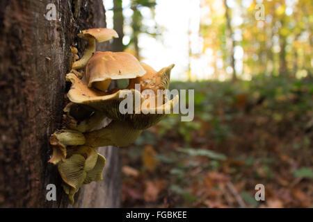 Close-Up di funghi che crescono su Log In Foresta Foto Stock