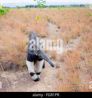 Giant Anteater (Myrmecophaga tridactyla) Guyana Foto Stock
