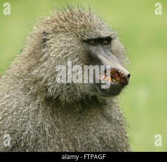Maschio di babbuino oliva gravemente ferito in battaglia, il cratere di Ngorongoro, Tanzania Foto Stock