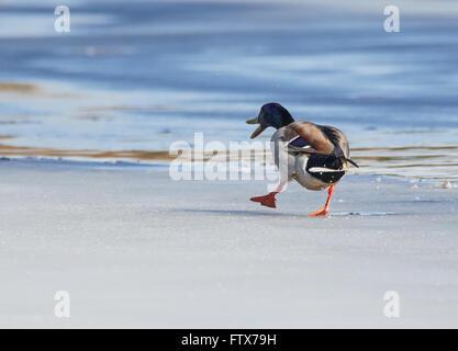 Il germano reale (Anas platyrhynchos) Passeggiate sul ghiaccio di un lago ghiacciato in primavera. Foto Stock