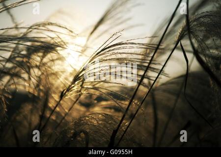 Reed Foto Stock