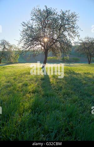 Molla; alberi; colore bianco; luce attraverso gli alberi; buon tempo giorni; l'illuminazione spot; Foto Stock