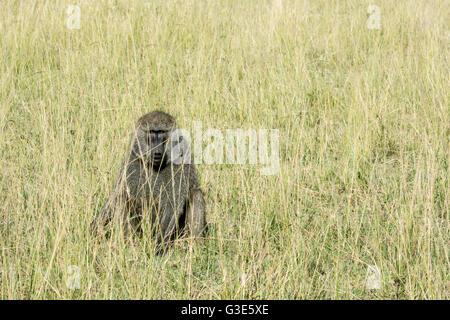 Un adulto solitario Wild Olive babbuino, papio anubis, seduta in erba alta nella Riserva Nazionale di Masai Mara, Foto Stock