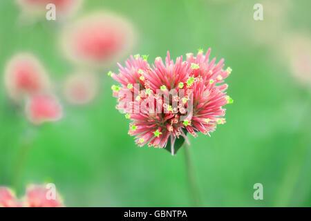 Gomphrena globosa fiori di un bel colore rosa Foto Stock