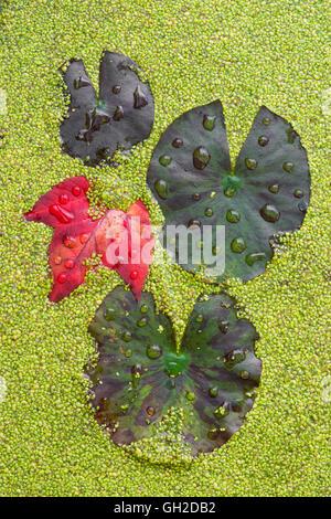 Gocce di pioggia su acqua Lily Pad (Nymphaea odorata) Red Maple Leaf (Acer rubrum) e lenticchie d'acqua (Lemna sps) Foto Stock