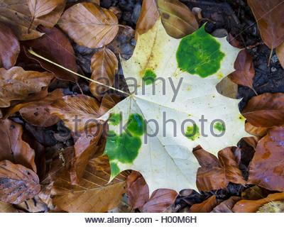 Spitzahorn, Spitz-Ahorn (Acer platanoides), herbstliches Ahornblatt am Boden mit gruenen Chlorophyllinseln, die Foto Stock