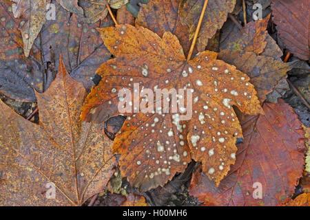 Bergahorn, Berg-Ahorn (Acer pseudoplatanus), sich zersetzendes Herbstblatt, Deutschland | acero di monte, grande Foto Stock