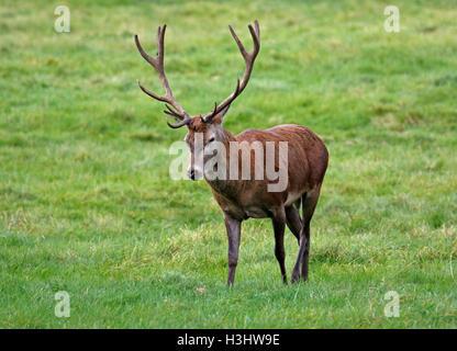 Il cervo (Cervus elaphus) Foto Stock