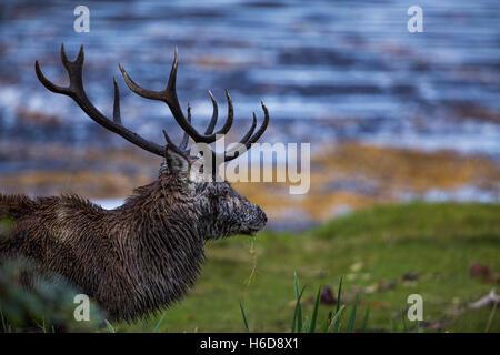 Red Deer Stag passeggiate vicino al mare. Foto Stock