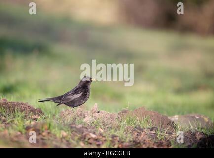 Un maschio di merlo sorge su una collina di mole e si sta guardando attorno. Foto Stock