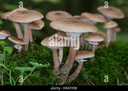 Gewöhnlicher Hallimasch, Dunkler Hallimasch, Halimasch, Honigpilz, Armillaria solidipes, Armillaria ostoyae, Armillariella Foto Stock