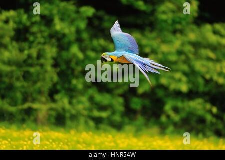 Flying Blue-e-giallo Macaw- Ara ararauna da lato Foto Stock