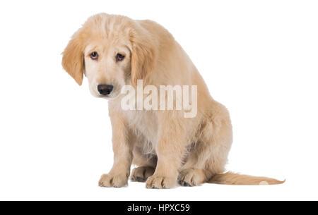 Misere Golden Retriever cucciolo seduta vista frontale isolato su sfondo bianco Foto Stock