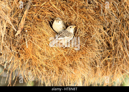 Due socievole weaver uccellini su nido Foto Stock
