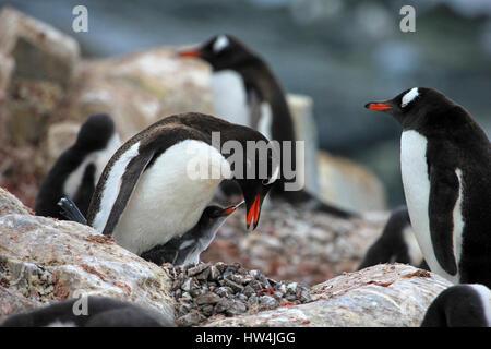 I giovani pinguini Gentoo beging cibo accanto all adulto pinguino Gentoo, Penisola antartica. Foto Stock