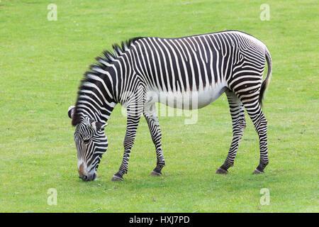 Strisce zebrate Foto Stock