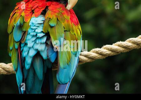 Piume di pappagallo Foto Stock
