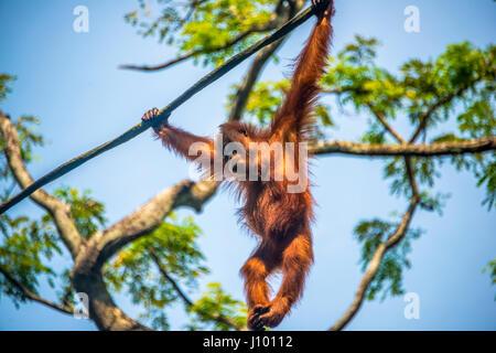 Bornean orangutan (Pongo pygmaeus), branchiation, arrampicata su una fune, captive, lo Zoo di Singapore, Singapore Foto Stock