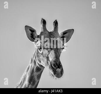 Closeup ritratto del viso di una giraffa nel sud della savana africana Foto Stock