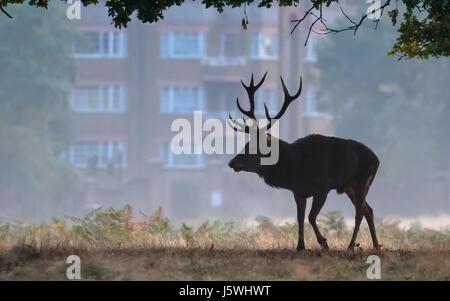 Silhouette di cervo rosso cervo (Cervus elaphus) a piedi nella parte anteriore di alcune città urban appartamenti Foto Stock